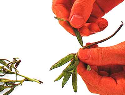 How-to-Chop-Herbs-tips-step by step-with photo