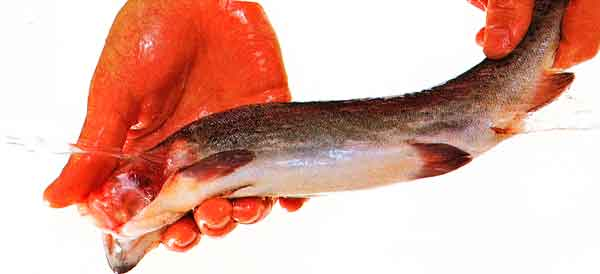 How-to-Clean-a-Whole-Fish-Through-the-Gills-tips