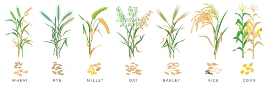 Cereal grass - wheat, rye, millet, oat, barley, rice, corn